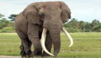 عدوى بكتيرية تتسبب بموت قطعان أفيال في أفريفيا