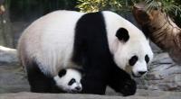 ولادة أخف باندا عملاقة في العالم بالصين