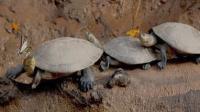 دموع السلاحف تنقذ حياة الفراشات - فيديو