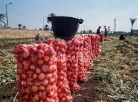 الزراعة: استمرار اغلاق باب استيراد البصل