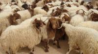 10 شروط لأضحية العيد الصحيحة
