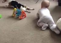 بالفيديو ..  كلب يعلم طفلا صغيرا الحبو