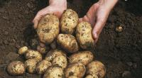 60 ألف طن مخزون الأردن من البطاطا