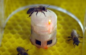 التواصل أصبح ممكناً بين النحل والأسماك!