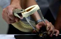 سكّان قرية اندونيسية يشربون دم الأفاعي لأنها تعالج الأمراض