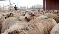 قطر تستورد 28 ألف رأس من الخراف الأردنية
