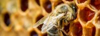 لقاح لكبح التدهور المخيف بعدد النحل في العالم