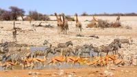 1000 حيوان برّي للبيع بسبب الجفاف في ناميبيا