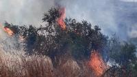 المستوطنون يحرقون ألف شجرة زيتون