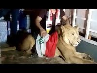 عراقي يصطحب أسداً إلى المظاهرات - فيديو