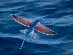 شاهد السمك الطائر -فيديو