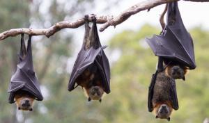 دولة إفريقية تحظر أكل الخفافيش
