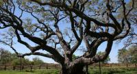 شجرة سنديان ..  هدية الرئيس الفرنسي لترمب