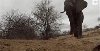 شاهد ..  فيل يسرق كاميرا ويسير بها عدة أمتار
