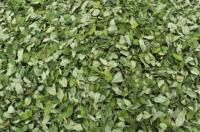 بوليفيا تزيد المساحات المزروعة بنبتة الكوكا