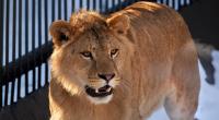 نفوق لبؤة بكورونا في حديقة حيوان بالهند