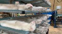 دولة أوروبية تحرق ملايين الجثث من حيوانات المنك