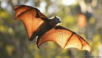 الخفافيش تطبق التباعد الاجتماعي