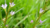 العثور على نبتة نادرة اختفت قبل 100 عام