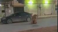 كاميرا ترصد أسدا تائها في بنغازي - فيديو