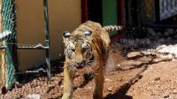 العثور على نمر الهند المفقود في هيوستن - فيديو