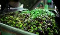 %50 ارتفاع إنتاج الزيتون في الطفيلة