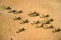 أعداد محدودة من الجراد الصحراوي تصل الأردن